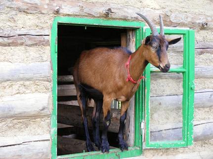 Goat, chèvre en anglais
